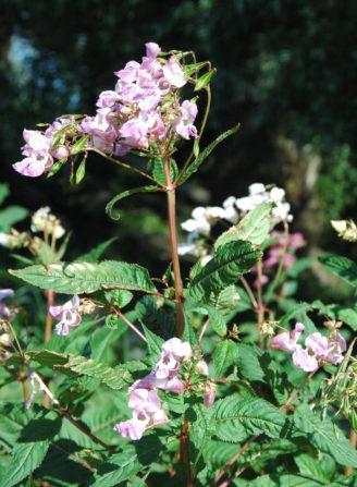 Foto zum Link «Invasive Neophyten»