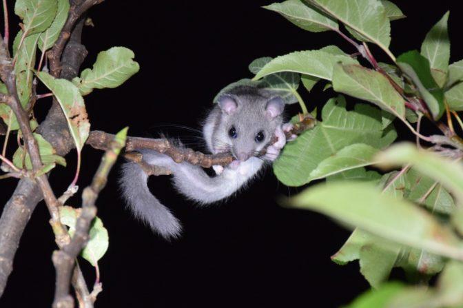 Foto zum Link «St.Gallens kleine Säugetiere»