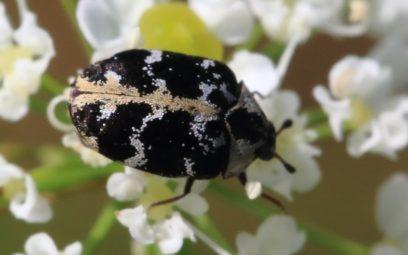 Teppichkäfer, Anthrenus scrophulariae
