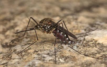 Asiatische Buschmücke, Aedes japonicus