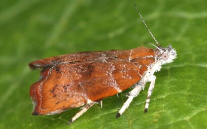 Feigen-Spreizflügelfalter, Choreutis nemorana